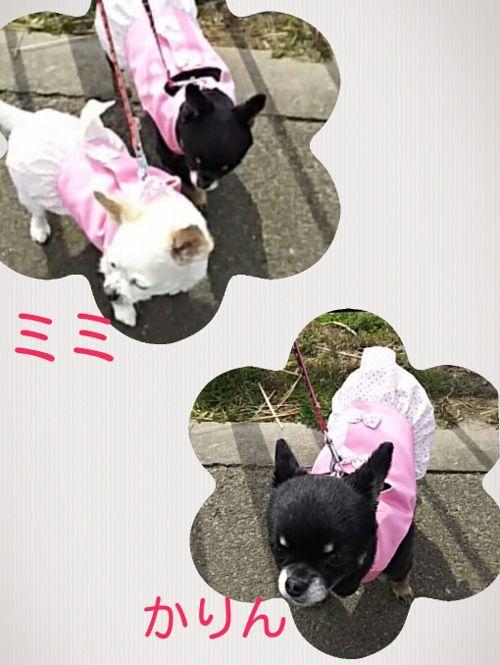神奈川県のチワワの姉妹