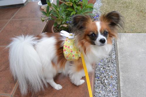 新潟県のパピヨンの女の子