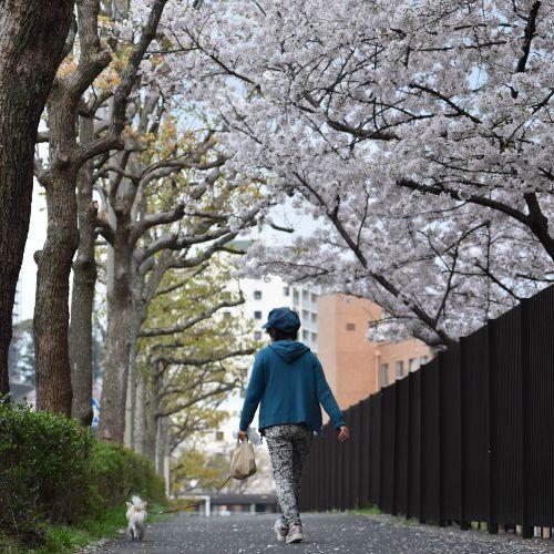 桜が満開です♪