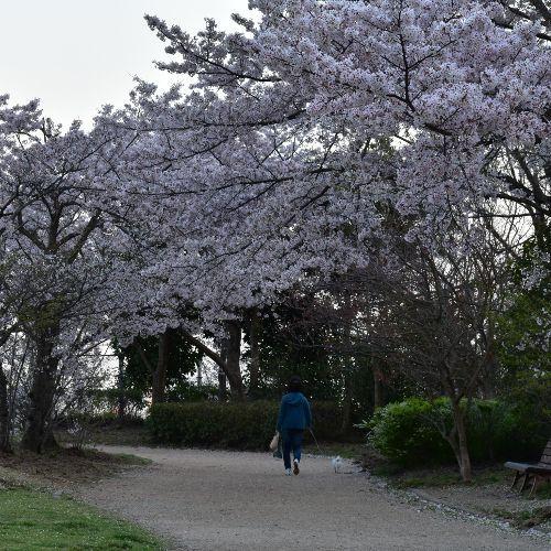 今日も桜が満開です。