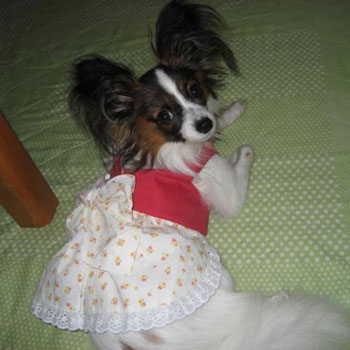 福岡県のパピヨンの女の子です